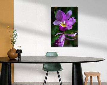 Cattleya Orchidee von Steffen Gierok