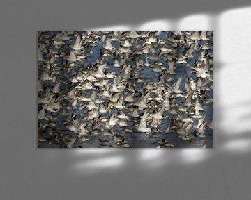Grote groep Kanoeten in vlucht. van AGAMI Photo Agency