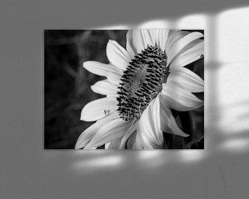Eine schwarz-weiße Sonnenblume. von Martijn Wit