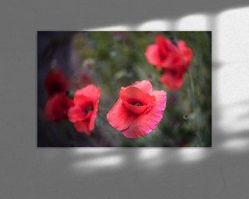 Mohnblumen mit Speziallinse von ProPhoto Pictures