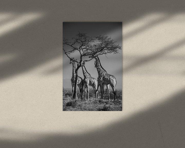 Sfeerimpressie: Groepje giraffen eten van acacia boom van Romy Oomen
