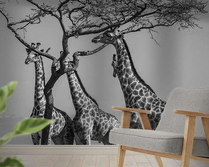 Sfeerimpressie behang: Groepje giraffen eten van acacia boom van Romy Oomen