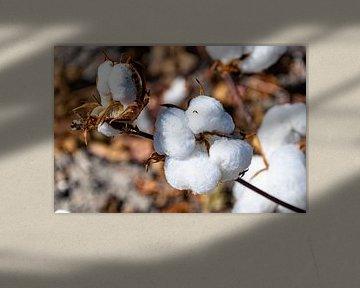 Baumwollpflanze in der Endphase von Hans Verhulst