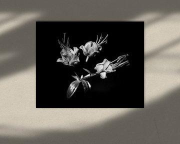 Blumendetail in Schwarz-Weiß auf schwarzem Hintergrund von MICHEL WETTSTEIN