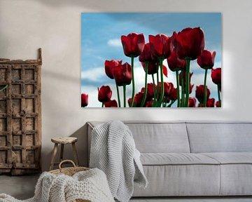 rode tulpen von Compuinfoto .