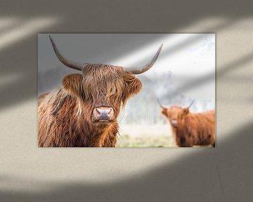 2 Schotse Hooglanders op de Jiltdijksheide van Martijn van Dellen