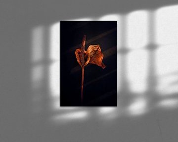 Vergane Zantedeschia in warm herfst licht van Karel Ham
