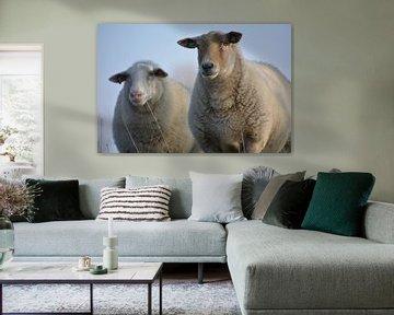 Schafe von johanna hibma