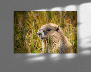 Marmot van Kevin Gysenbergs