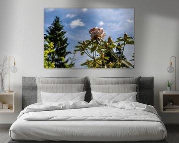 Rhododendron Blüte vor blauem Himmenl von Alexander Wolff