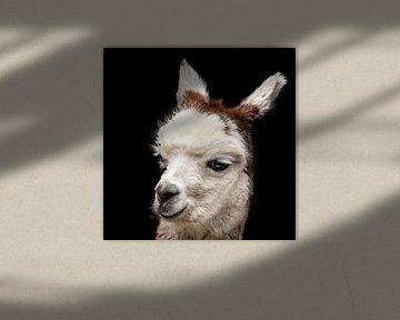 Alpaca, portret. Berglama. van Gert Hilbink