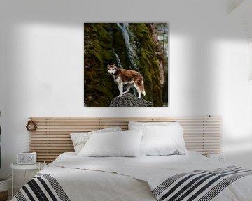 Rotbrauner Sibirischer Husky, der auf einem Felsen in der Nähe eines Wasserfalls in Deutschland steh von Moo pix