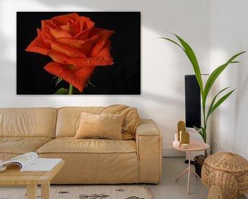 Rose von Bennie Eenkhoorn