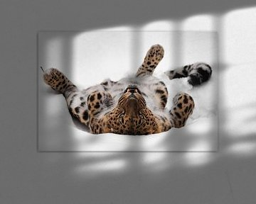 Le léopard d'Extrême-Orient joue dans la neige sur Michael Semenov