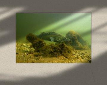 snoekbaars (Sander lucioperca) van Arthur de Bruin