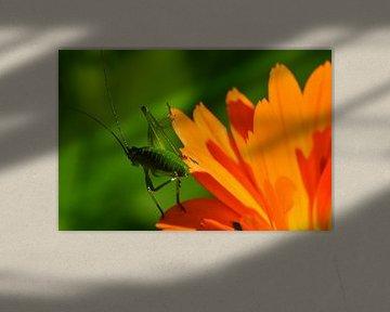 Cricket auf Blume von Erik Johansson