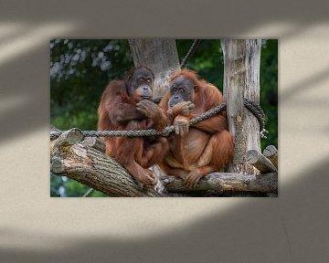 Orang-oetangs in boom van Marcel van Balken