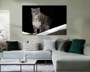 Ein Schneeleopard auf dunklem Hintergrund sitzt da und schaut stolz nach vorne - eine große Katze. von Michael Semenov