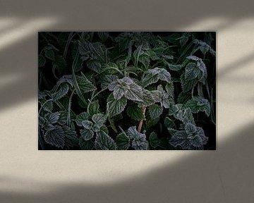 Le gel sur le sol donne la maturation sur feuilles vertes. sur Jenco van Zalk