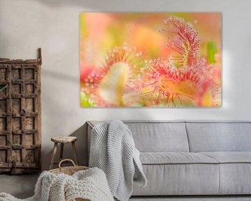 Bloemen en planten   Close-up van Zonnedauw van Servan Ott