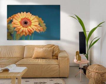 Gerbera Blume Orange - Asteraceae von Christel Bekkers