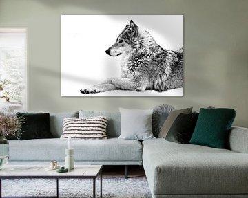 Une louve se couche dans la neige, un animal fier regarde vers l'avant avec un regard clair. sur Michael Semenov