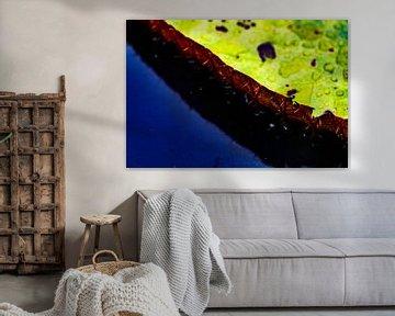 Nahaufnahme der riesigen Amazonas-Seerose in Iquitos, Peru von John Ozguc