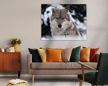 Portrait d'un loup (loup femelle) en gros plan sur la tête de la bête avec un regard sévère aux yeux sur Michael Semenov