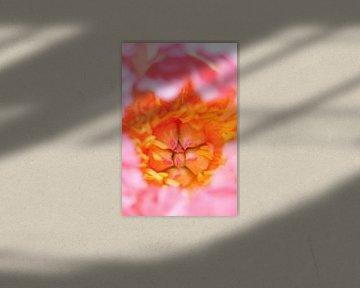 Pioenroos close-up staand beeld von arjan doornbos