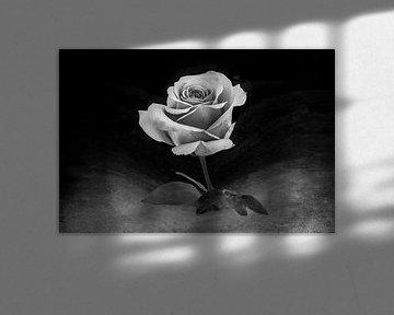 close-up van fraaie roos uitgevoerd in silver-zwart-wit