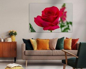 close-up van een felrode fraai gevormde  roos