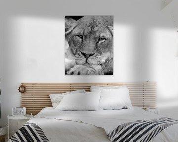 Löwin in der Entspannungsposition von Patrick van Bakkum