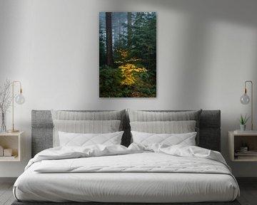 Kleine kleurrijke beukenboom in een mistig donker dennenbos van Sjoerd van der Wal