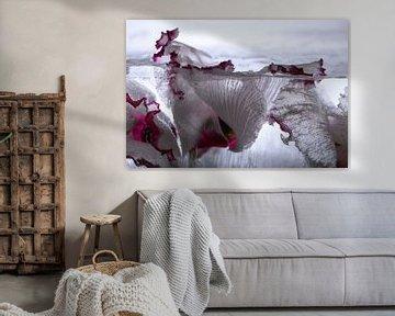 Alpenveilchen in Eis 3 von Marc Heiligenstein