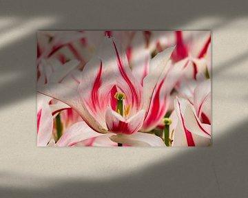Een wit met roze bloem in bloei van Jennifer Hendriks