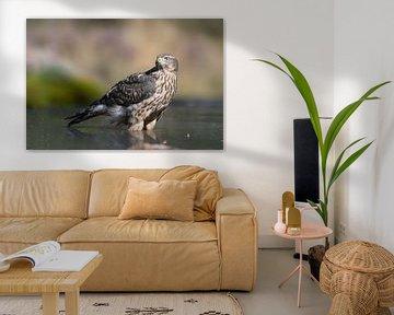 Junger Falke kühlt im Wasser ab. von Michel Roesink
