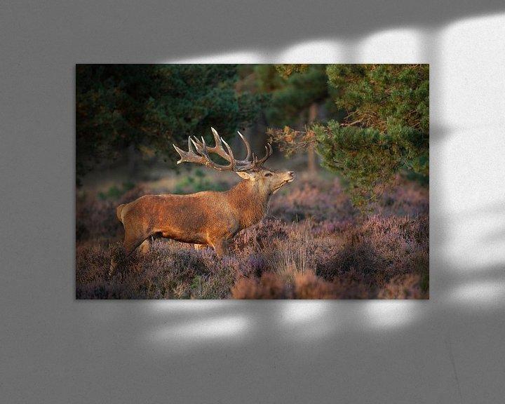 Sfeerimpressie: Edelhert tussen de paarse Heide. van Rob Christiaans