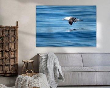 Weißkappenalbatros (Thalassarche steadi) im Flug von Beschermingswerk voor aan uw muur