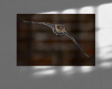 Chauve-souris naine en vol sur Rudmer Zwerver