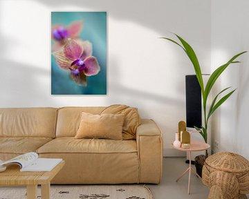 Phaleanopsis Orchidee von Steffen Gierok