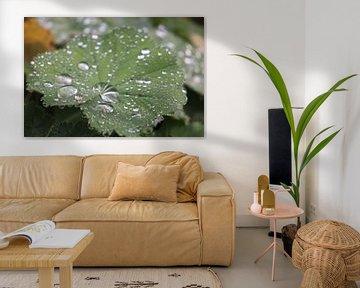 Vrouwenmantel met regendruppels van Rosalie Broerze