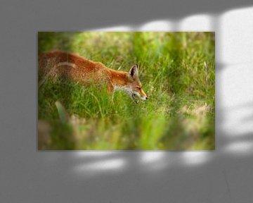 Fuchs in der Wildnis von Björn van den Berg