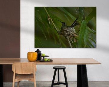 Colibri sur son nid sur Dick Blommers