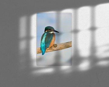 Kingfisher (Alcedo atthis) kijkend over de schouder, achteraanzicht van vliegende edelsteen, wild, E van wunderbare Erde
