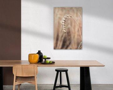 Un épi de blé mûr. Champ de céréales aux Pays-Bas. sur Marjolein Hameleers