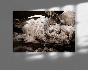 Schafe rasieren von Kitty Stevens