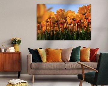Holländische Tulpen in voller Blüte im Frühling von gaps photography