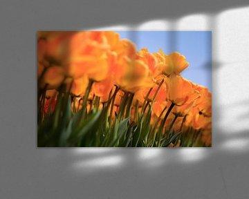 Hollandse tulpen in volle bloei tijdens de lente