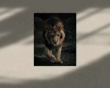 Le Lion déprimé marche seul sur Patrick van Bakkum