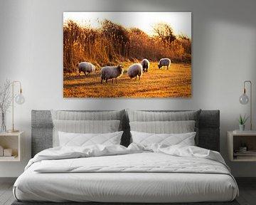 Moutons au soleil couchant dans la réserve naturelle de Meijendel sur MICHEL WETTSTEIN